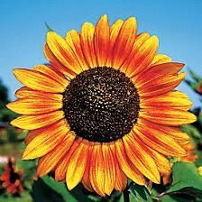 114 best sunflowers images on pinterest sunflowers nature and