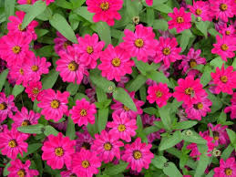 Zinnias Flowers Zinnia Flower Varieties Colorful Easy Fast Growing Old