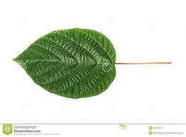 sheet tree royalty free stock image image 12263316