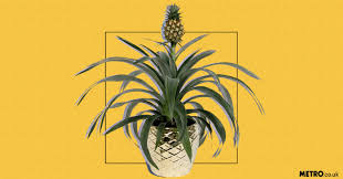 12 Best Plants That Can by Asda Selling Pineapple Plant That Nasa Suggests Could Stop You