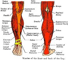 Foot Tendons Anatomy 520 Best Anatomy Images On Pinterest Occupational Therapy