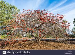 south coral tree erythrina caffra san diego california