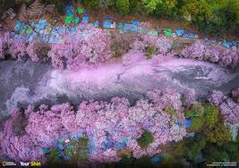 Cherry Blossom Facts by Spring Has Sprung And In Japan That Means Cherry Blossoms 8