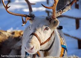 photos santa claus reindeer in rovaniemi in lapland in finland