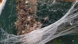 woman opens letterbox to find terrifying huntsman spider and