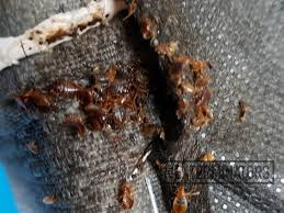 The Best Way To Kill Bed Bugs Can Home Remedies Kill Bed Bugs No
