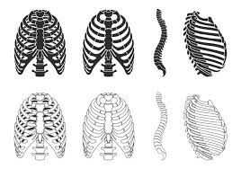 ribcage vector free vector stock graphics images