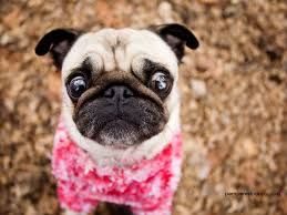Wallpaper Dog Dogs Curious Pug In Pink Dogs Wallpaper 13518555 Fanpop