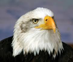 eagle head free download clip art free clip art on clipart