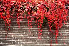 pictures of vines for landscaping