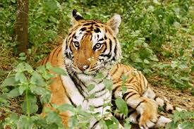 royal bengal tiger in the jungle india stock photo picture and