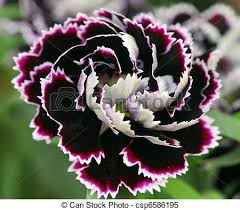 dianthus flower closeup of white black carnation dianthus flower stock images
