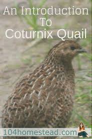 238 best quails images on pinterest raising quail quail coop