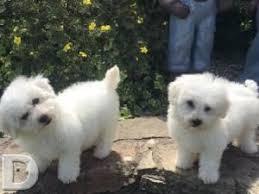 belgian shepherd for sale ireland best 25 dogs for sale ireland ideas on pinterest teacup dogs