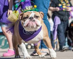 mardi gras dog mutti gras pet parade and beauty pageant draws dogs of all shapes