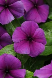 Vinca Flower Information - titan cottonn candy mix vinca a annuals pinterest flowers