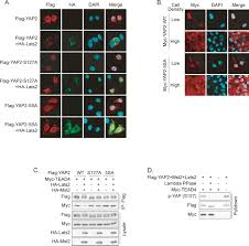 Yap Flag Inactivation Of Yap Oncoprotein By The Hippo Pathway Is Involved
