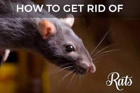How To Hunt Squirrels In Your Backyard by Rats In Your Attic Or Home Learn How To Get Rid Of Them
