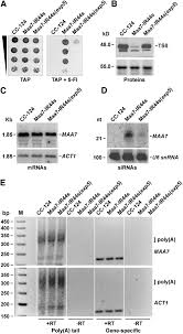 small interfering rna u2013mediated translation repression alters