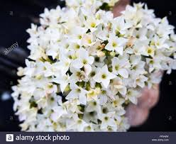 small white flowers bunch of small white flowers bunch of small white flower stock