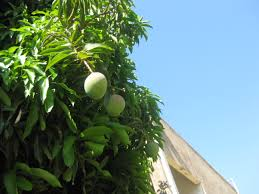 there u0027s a potential mango tree in every mango the smarter gardener