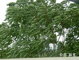 tree of heaven china sumac invasive species of japan