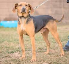 bluetick coonhound and bloodhound mix dogs last hope animal rescue