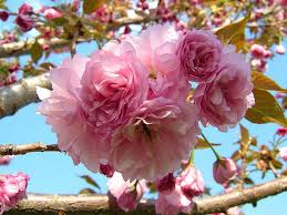 types of ornamental cherry trees 28 images house trees