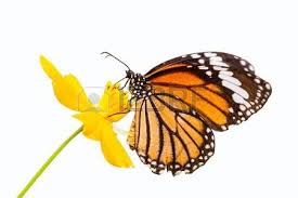 white tiger butterfly stock photos royalty free business images