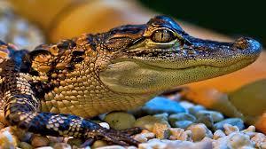 alligator wallpaper hd wallpapers blog