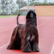 afghan hound stupid this 5 year old afghan hound has the kind of gorgeous hair we