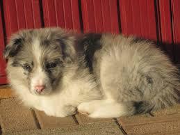 australian shepherd 2 mesi fairy dynasty centro cinofilo dog sitter allevamento border