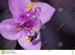 australian native plants with purple flowers australian native bee on purple flower stock photo image 70894577