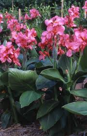 Canna Lily Canna Lily Dwarf Tropical Rose 7