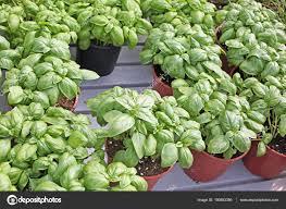 plante aromatique cuisine le basilic est la plante aromatique typique de la cuisine