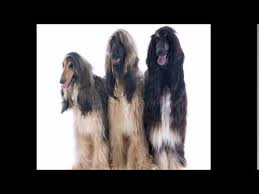 afghan hound puppies youtube afghan hound divine dogs online