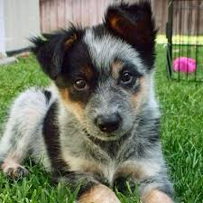 australian shepherd dog puppies images of puppy blue heelers google search australian cattle