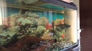 pet fresh water shark feeding fish tank aquarium youtube
