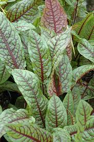 ornamental sorrel rumex sanguineus in naperville batavia