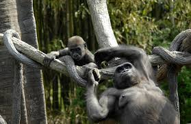 cross river gorilla wallpapers 1080p cross river gorilla