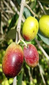 olive tree frantoio variety