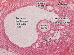 ovary mature follicle 100x all labels 27162738 copy jpg 1280 960