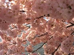 file img 2403 washington dc tidal basin cherry blossoms jpg