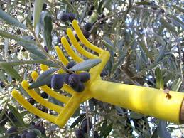 italian olives travel to italy news harvesting olives in november made in