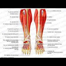 Foot Anatomy Nerves Leg Foot Anterior View Deep Muscles Blood Vessels And Nerves