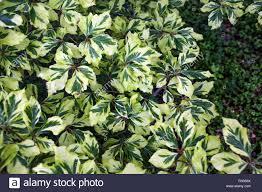 fagus sylvatica fagus sylvatica u0027albovariegata u0027 european beech variegated leaves