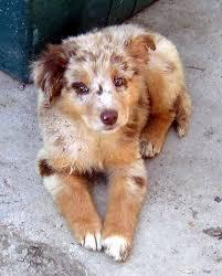 australian shepherd puppy file australian shepherd puppy redmerle jpg wikimedia commons