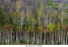white birch trees stock photos white birch trees stock images