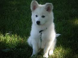american eskimo dog yahoo although modern american eskimos have been exported as german