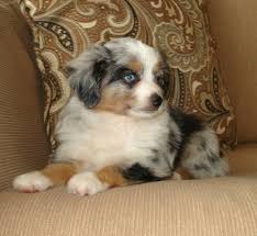 australian shepherd miniature blue horizon toy australian shepherds